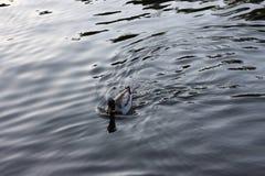 Łabędź w bacchini czerni Blagoevgrad rila Bułgaria Obraz Stock