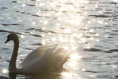 Łabędź w Danube rzece w ranku Fotografia Stock