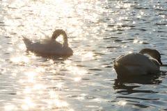 Łabędź w Danube rzece w ranku Obraz Royalty Free