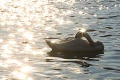 Łabędź w Danube rzece w ranku Zdjęcie Stock