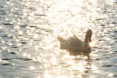 Łabędź w Danube rzece w ranku Zdjęcia Stock