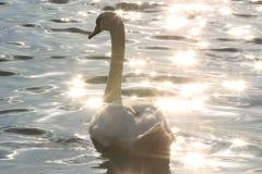 Łabędź w Dunabe rzece w ranku Zdjęcie Royalty Free