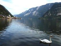 Łabędź w Hallstatt jeziorze Zdjęcie Royalty Free