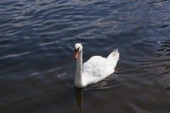 Łabędź w jego naturalnym environement: jezioro Obraz Royalty Free