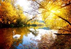 Łabędź w jesieni zdjęcie stock