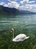 Łabędź w Jeziornym Annecy Fotografia Stock