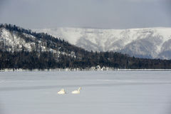 Łabędź w jeziornym kussharo zdjęcia royalty free