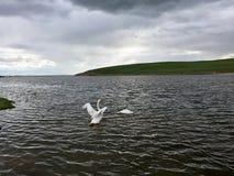 Łabędź w jeziorze obraz stock