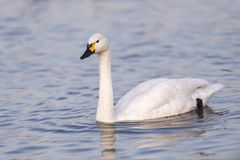 Łabędź w jeziorze Fotografia Royalty Free