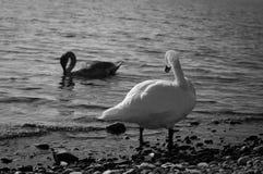 Łabędź w jeziorze Zdjęcia Royalty Free
