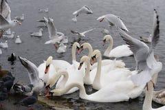 Łabędź w jeziorze Zdjęcia Stock
