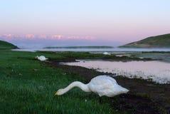 Łabędź w jeziorze obszar trawiasty Fotografia Stock