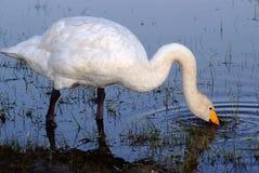 Łabędź w jeziorze obszar trawiasty Obraz Royalty Free