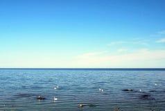Łabędź w morzu bałtyckim Obraz Stock