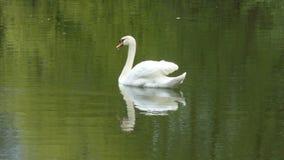 Łabędź w naturze z odbiciem Zdjęcia Stock