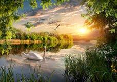 Łabędź w parku zdjęcie stock