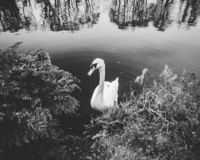 Łabędź w Rzecznym Thames ulistnieniem na banku w Czarny I Biały obraz stock