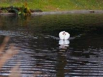 Łabędź w spokojnym stawie Zdjęcie Royalty Free