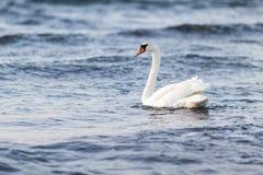 Łabędź w wodzie Zdjęcia Royalty Free