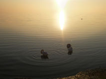 Łabędź w wodzie przy zmierzchem Zdjęcie Royalty Free
