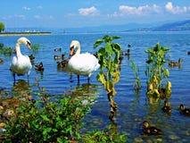 łabędź, woda, ptak, jezioro, biel, natura, zwierzę, łabędź, ptaki, piękni, przyroda, piękno, miłość, rzeka, staw, błękit, pełen w Zdjęcia Stock