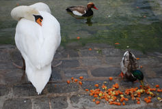 Łabędź wpólnie i kaczki Zdjęcie Royalty Free