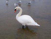 Łabędź z Seagulls Obrazy Royalty Free