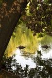 Łabędź, Zielony jezioro, Naturalni, Sypialni łabędź w zielonym jeziorze, fotografia stock