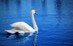 łabędzi biel Zdjęcie Royalty Free