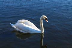 Łabędzi dopłynięcie w jeziorze Zdjęcia Royalty Free