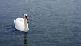 Łabędzi dopłynięcie w jeziorze Fotografia Stock