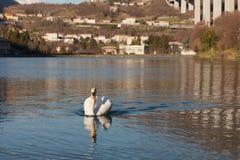 Łabędzi dopłynięcie w Restello jeziorze Zdjęcie Stock