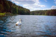 Łabędzi dopłynięcie w scenicznym wiejskim lithuanian jeziorze zdjęcie royalty free