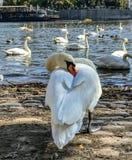 Łabędzi drzemanie w pełnym świetle dziennym na bankach Vltava rzeka, zdjęcia royalty free