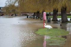 Łabędzi i lifebuoy w wodzie powodziowej z wierzbowymi drzewami i mostem wysklepia w tle Zdjęcia Stock