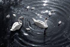 Łabędzi jezioro Fotografia Stock