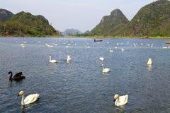 Łabędzi jezioro w Puzhihe Scenicznym terenie zdjęcie stock