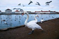 Łabędzi jezioro z seagulls Zdjęcia Royalty Free