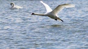 Łabędzi latanie nad Rzecznym Danube Zdjęcie Stock