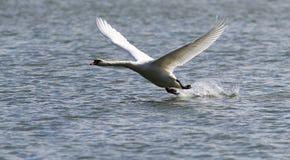 Łabędzi latanie nad Rzecznym Danube Zdjęcia Stock