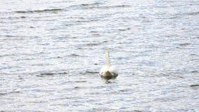 Łabędzi pływanie na gładkim poziomie wody z słońc odbiciami i błyska zbiory