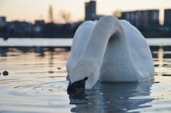 Łabędzi zimy Strkovec jezioro Zdjęcie Stock