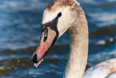 Łabędzia dzieci potomstw głowy szczegółu wody kropla Zdjęcia Royalty Free