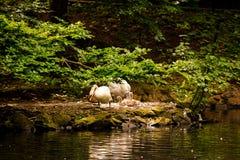 łabędzia para z kurczątkami blisko wody pod drzewem Zdjęcie Stock