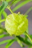 Łabędzia roślina Obraz Stock