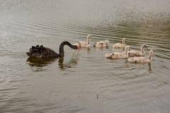 Łabędzia rodzina na jeziorze Zdjęcia Royalty Free