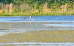 Łabędzia rodzina na jeziorze Zdjęcie Stock