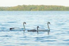 Łabędzia rodzina w wodzie Fotografia Royalty Free