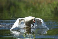 Łabędzia samiec monitoruje i onieśmiela na jego jeziorze Fotografia Stock