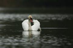 Łabędzia samiec monitoruje i onieśmiela na jego jeziorze Zdjęcie Royalty Free